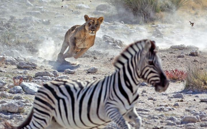 lioness hunting a zebra Jiu jitsu legacy